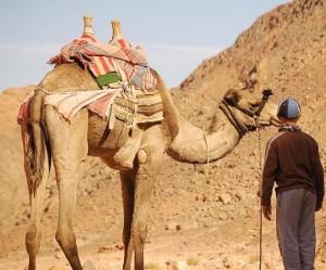 Camelo em Terra Santa